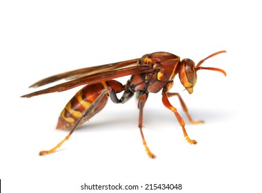 red wasp images stock photos vectors shutterstock