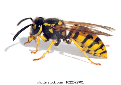 wasp isolateed on white background in latin Vespula