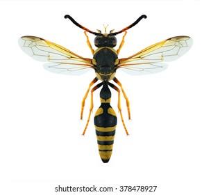 Wasp Katamenes flavigularis on a white background