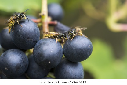 wasp looking for food in grapes