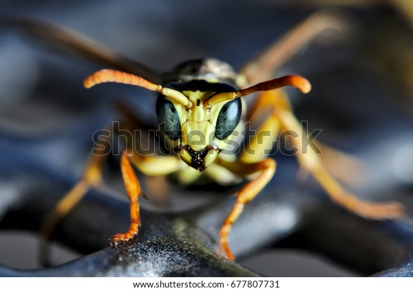 Wasp looking into camera. Reflection of the metal surface in the eyes.