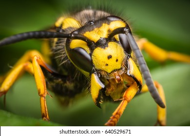 Wasp macro with wide open mandibles