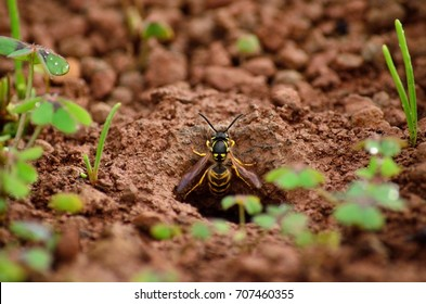 Wasp at the moment of emerging from the subterranean nest, vespula germanica