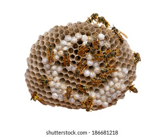 Wasp nest isolated on white, with wasps working and feeding the larvae. Also visible some eggs in the cells. With clipping path.