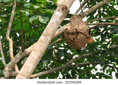 Wasp nest on the tree.