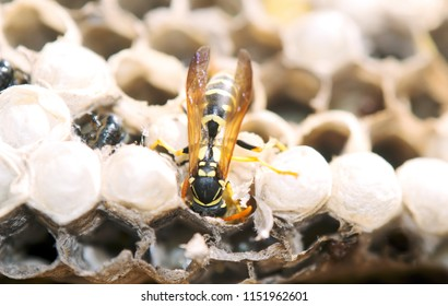 wasp in the nest takes care of the offspring protects and feeds the larvae