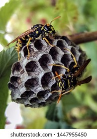 Wasp at a wasp nest. Wasp nest. Wasp nest with wasps sitting on it. Wasps polist. The nest of a family of wasps which is taken a close-up