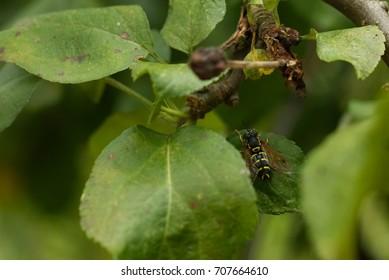 Wasp on apple tree leaf.