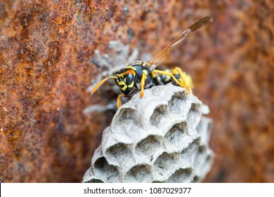 wasp on honeycomb. wasp builds beehive. Vespiary.