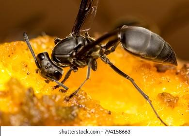 Wasp on mango extreme close up