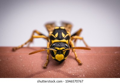 Wasp on orange surface, isolated on white background