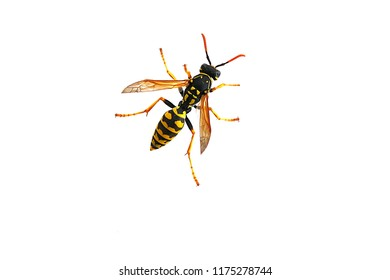wasp on a white background,