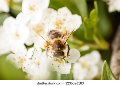 Wasp on a wild white flowers, macro