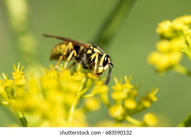 Wasp on a yellow flower close up