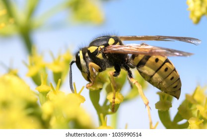 wasp on a yellow flower close-up on a blurred background