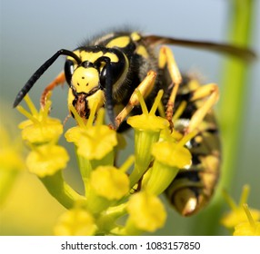 wasp on a yellow flower closeup