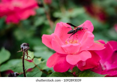 wasp pollinating a knockout rose - landscape