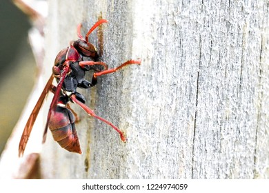 Wasp red sting