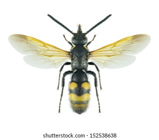 Wasp Scolia fuciformis (male) on a white background