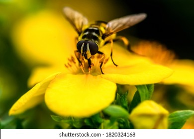 The wasp sits on a flower and collects pollen. Macro shooting of a wasp in the process of collecting pollen