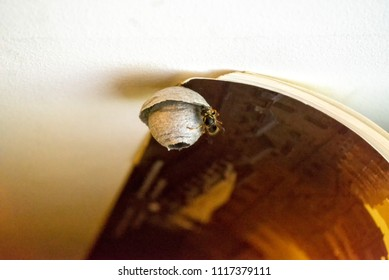 Wasp sits on hornets' nest hanging on calendar on shelf under ceiling