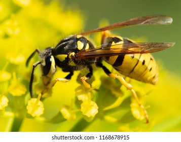 a wasp sits on a yellow flower, macro photography