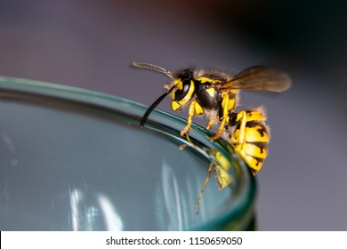 Wasp sitting on a glass  - danger of swallowing a wasp in the summer