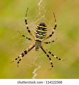 wasp spider - Argiope bruennichi on his web