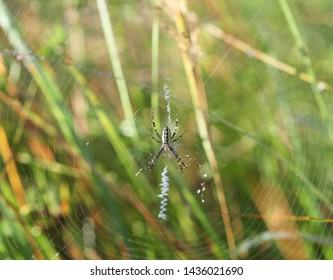wasp spider (Argiope bruennichi) on his web, selective focus