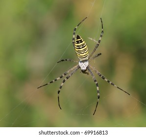 A Wasp Spider (Argiope bruennichi) on its web.