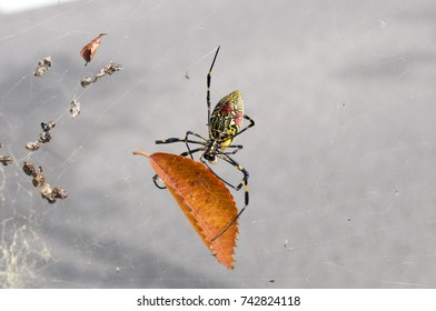 wasp spider (Argiope bruennichi) with yellow and black stripes on its abdomen in its web hunting