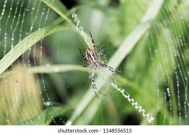 Wasp spider sits in a circular web and dew drops on filaments (Argiope bruennichi)