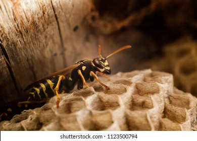 Wasp in a vespiary