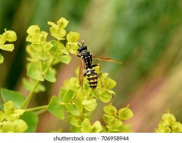 Wasp; Vespula; germanica