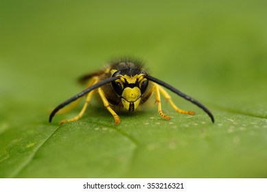 Wasp (Vespula vulgaris), insect on a leaf