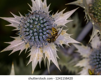 A wasp visiting an Eryngium. Eryngium alpinum (family: Apiaceae, also known as Umbelliferae) is also known as alpine sea holly, alpine eryngo, queen of the Alps.