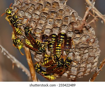 Wasps around the nest