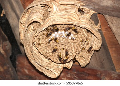 Wasps build a new hive in the attic of an apartment house