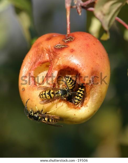 Wasps in Crabapple