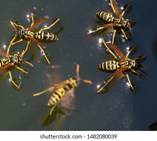 Wasps drink water from the pan, swim on the surface of the water, do not sink.