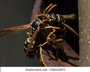 Wasps near a nest