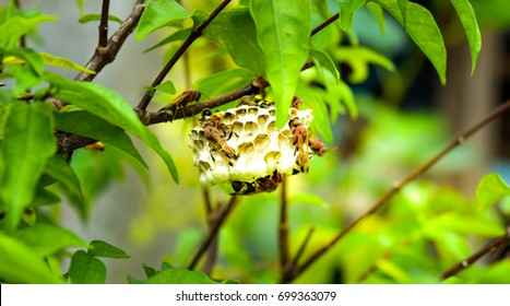 Wasp's nest on the branch ,they are nesting and spawning.