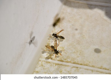 Wasps Polistes drink water. The ability of wasps Polistes not sink in water.