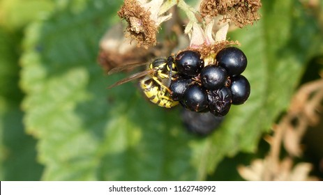 Wasps (Vespula germanica) eats ripe blackberry (Rubus sectio Rubus). Location: Lehrte near Hanover, Germany
