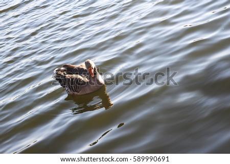 quality design a3538 5efd8 Wasservogel Gans Tier Vogel Schwan Background Stock Photo ...