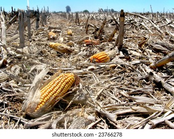 Waste left after harvest and some corn cobs left behind in the field