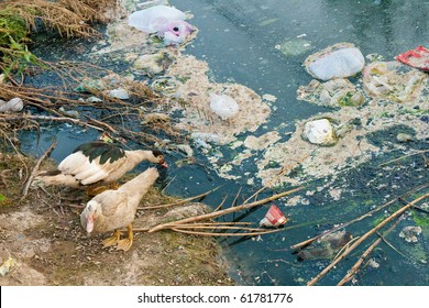 Wastewater, pollution, Global warming, bad life, Duck