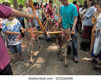 Wat Yai Nakhon Chum, Ban Pong, Ratchaburi -THAILAND, Oct. 13, 2019 : Buddhist Lent Day, view of two small calf pulling a cart.