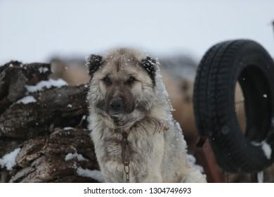 watchdog near dog kennel.kars