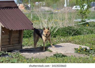 Watchdog Shepherd on a chain near the doghouse on the background of the vegetable garden on a spring sunny day